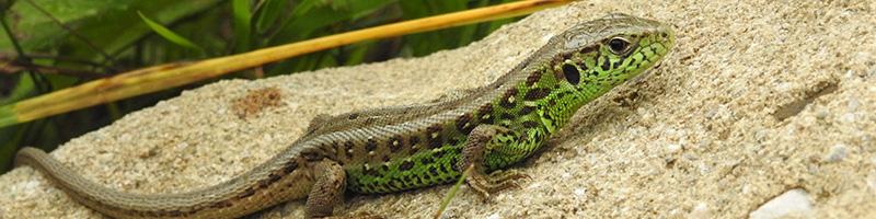PNC-parallax-reptile-2
