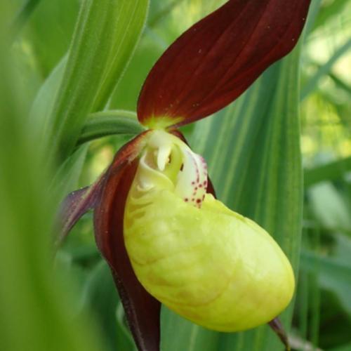 Cypripedium calceolus, o orhidee rară și spectaculoasă din Parcul Național Ceahlău