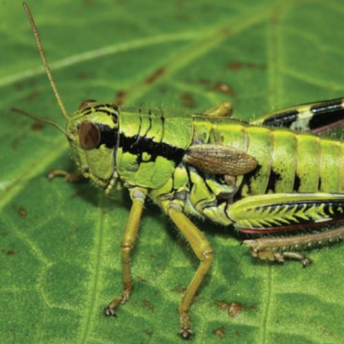 Nevertebrate: Pseudopodisma transilvanica (lacusta de munte)