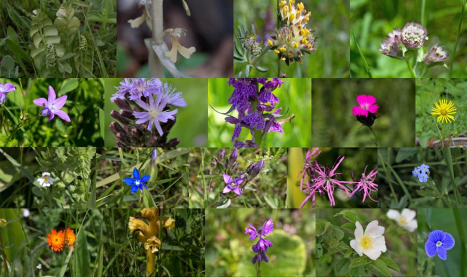specii de plante prezente in pajistile tipice montane